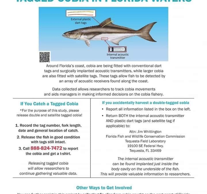 Anglers Be Aware: Tagged Cobia in Florida Waters